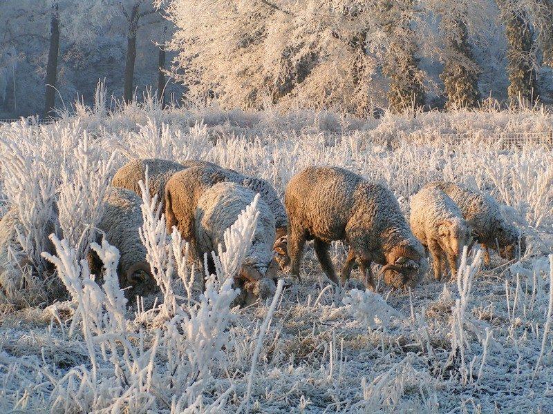 Wolmerinos schapen