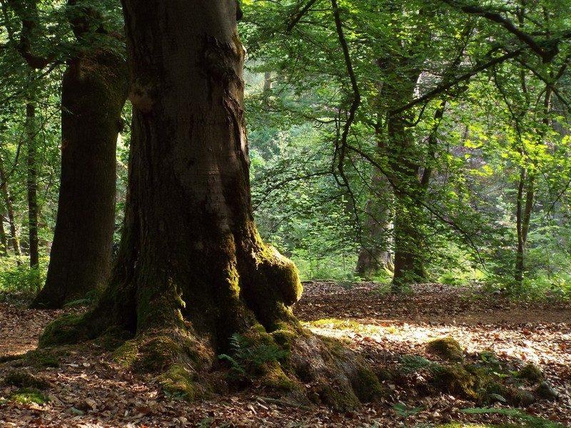 Imposante beuken in de Herbertus bossen