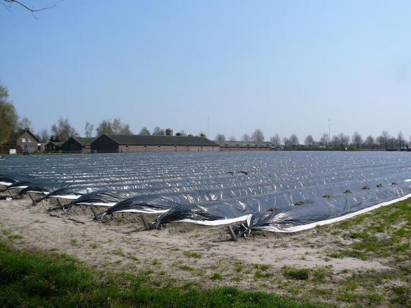 De aspergevelden op Vrilkhoven