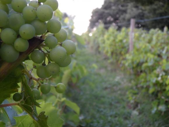 Wijngaard op de Markelose Berg