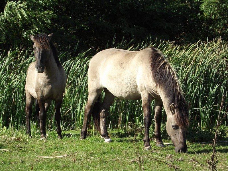 Konikpaarden in het beekdal van de Itterbeek