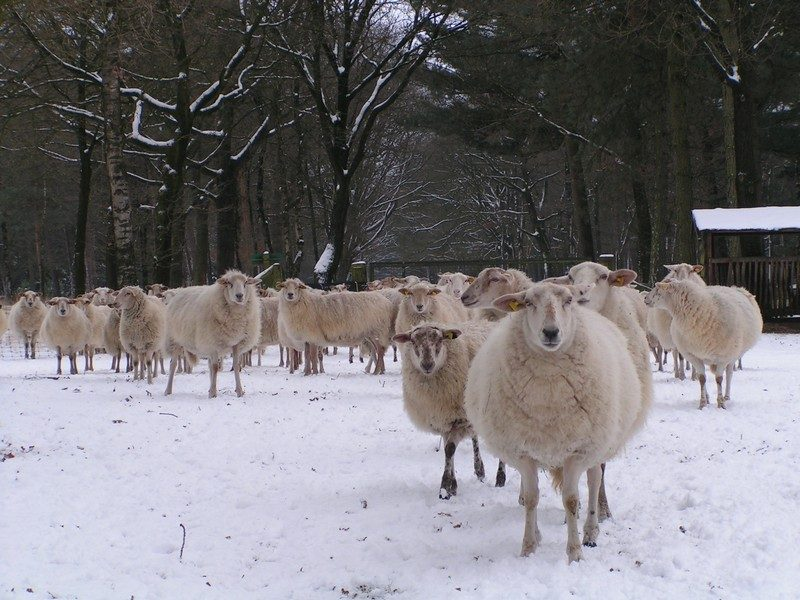 Kempische heideschapen, maar nu in de winter