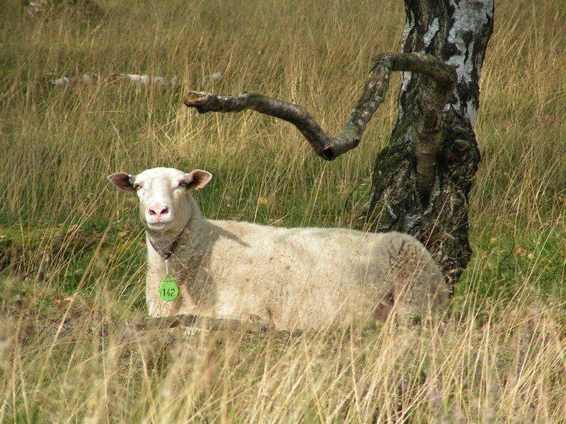 Een andere grazer het schaap