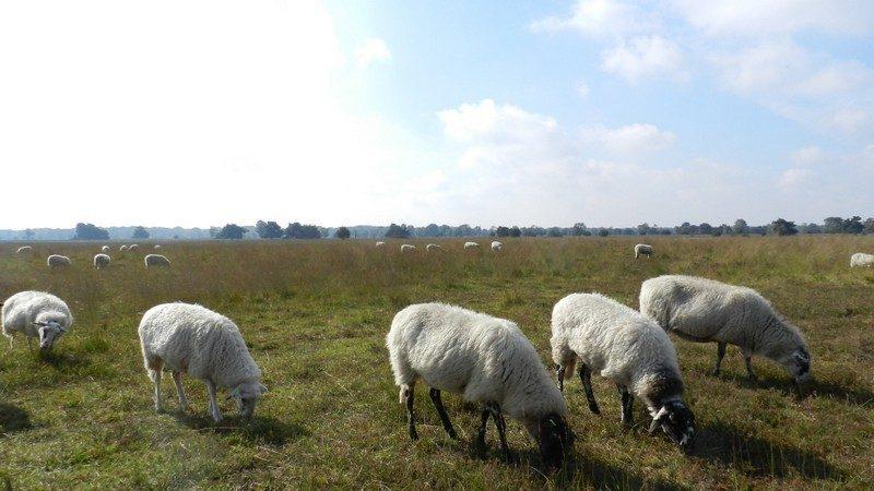 """""""Onderhoud"""" door schapen."""