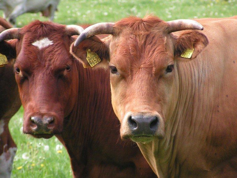 Koeien in de Bunthorst
