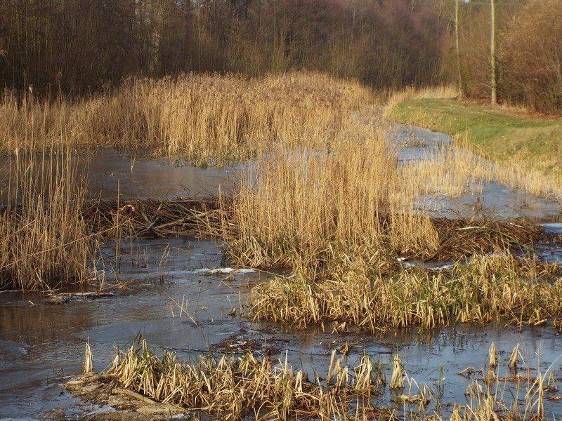 Het begin van een heuse beverdam de Neerpeelbeek