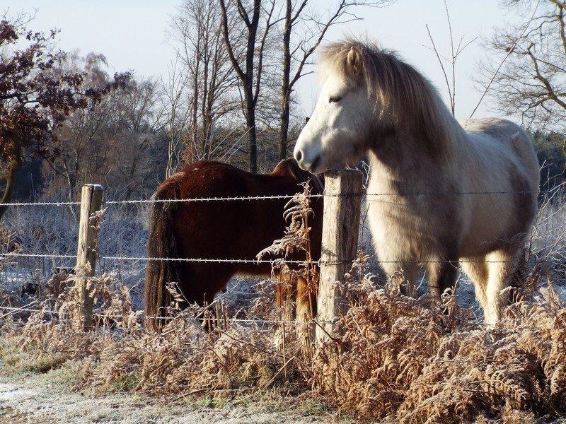 Paarden op de Hiepterheide