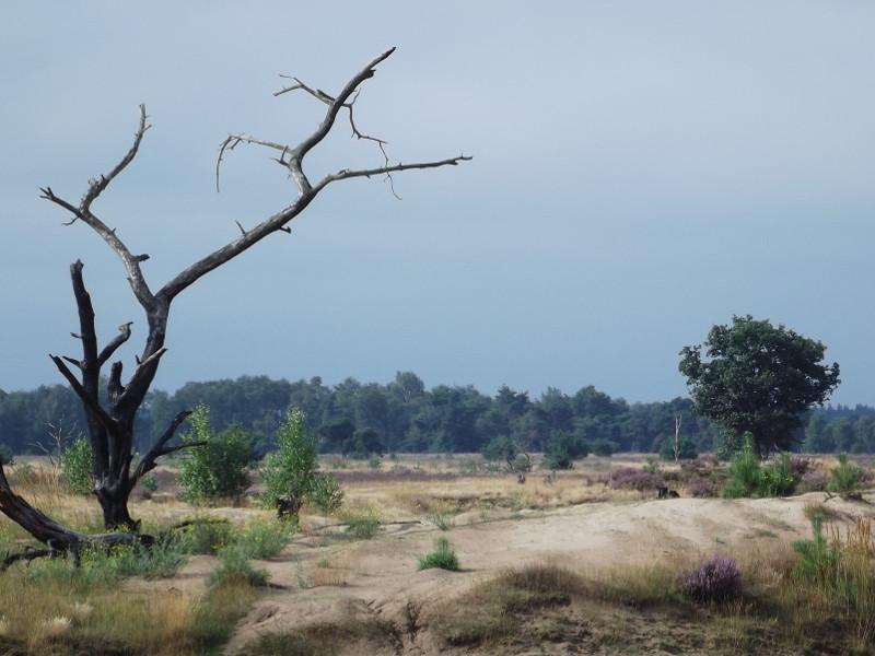 Rond de dode boom staan berken een pioniersbomen