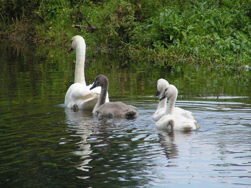 Zwanen in het waterwingebied
