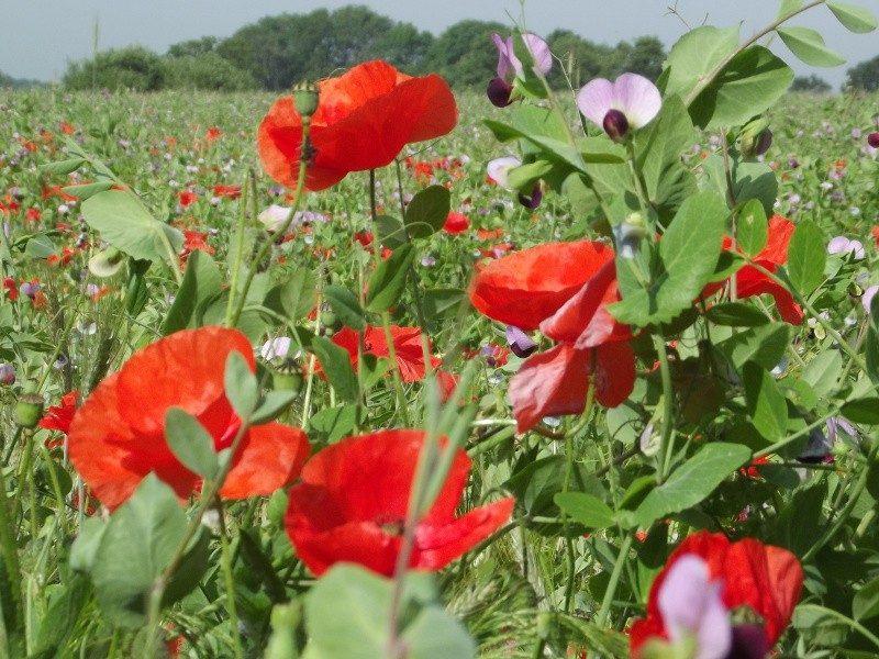Bloemrijke velden in de Dommelbeemden