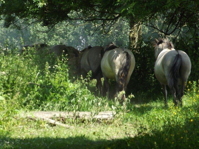 Konikpaarden bij de Huiskensplas