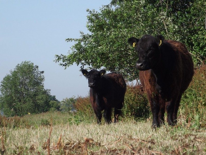 Begrazing met galloways