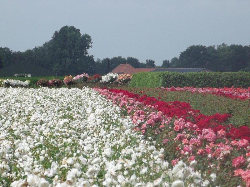 Rozenteelt in Sambeek