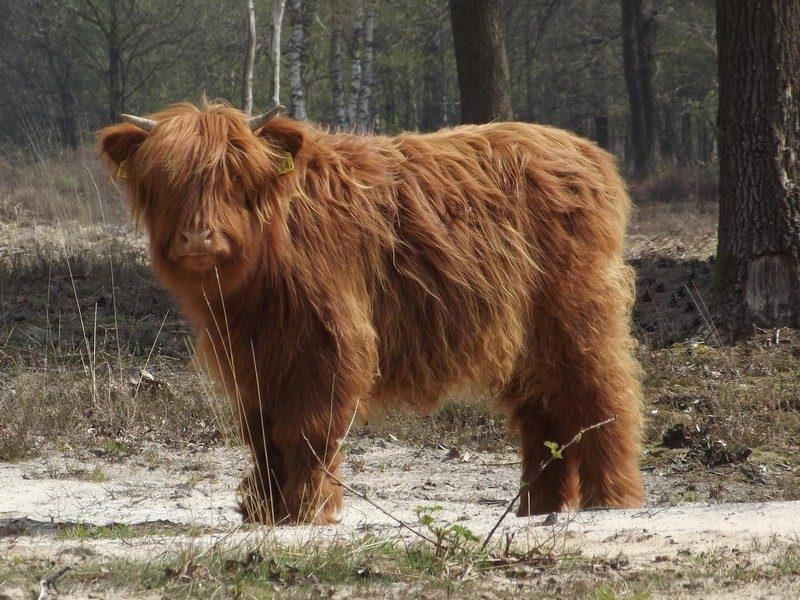 Natuurgebied Hiepterheide, Schotse hooglander