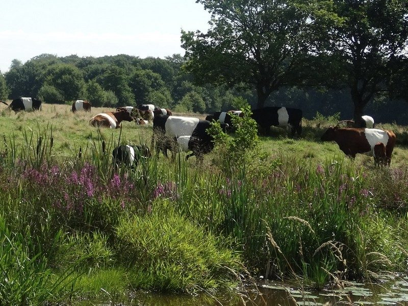 Lakenvelders met kroost in het Metbroekbos