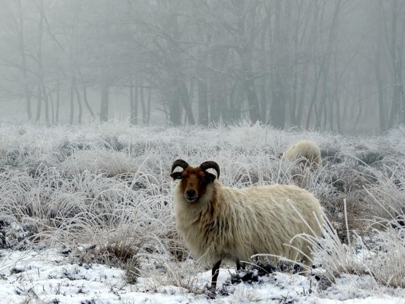 Een schaap doemt op uit de mist