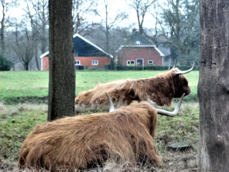 Schotse Hooglanders in het bos