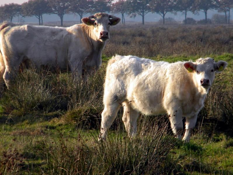 Ontmoeting met Charolais koeien