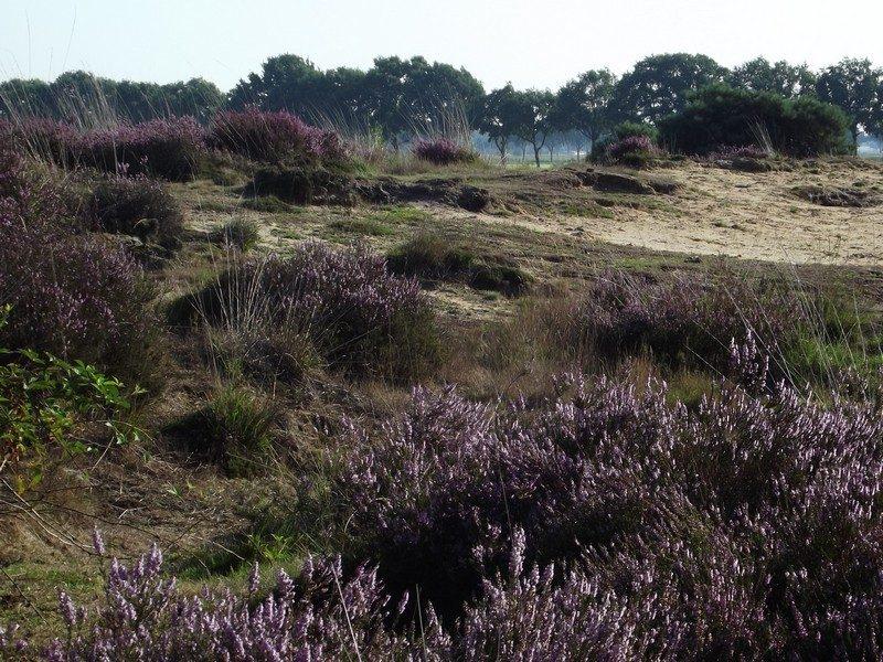 De Groote Peel kleurt weer paars