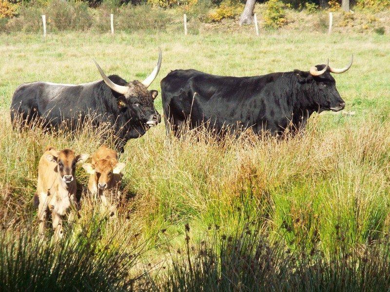 Tauros runderen in omgeving van de Abeek