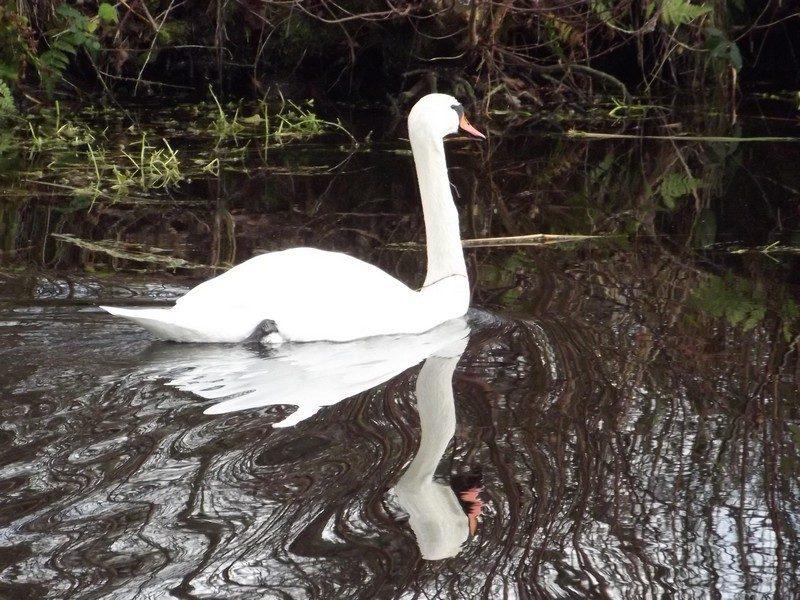 Zwaan in het kanaal van Deurne