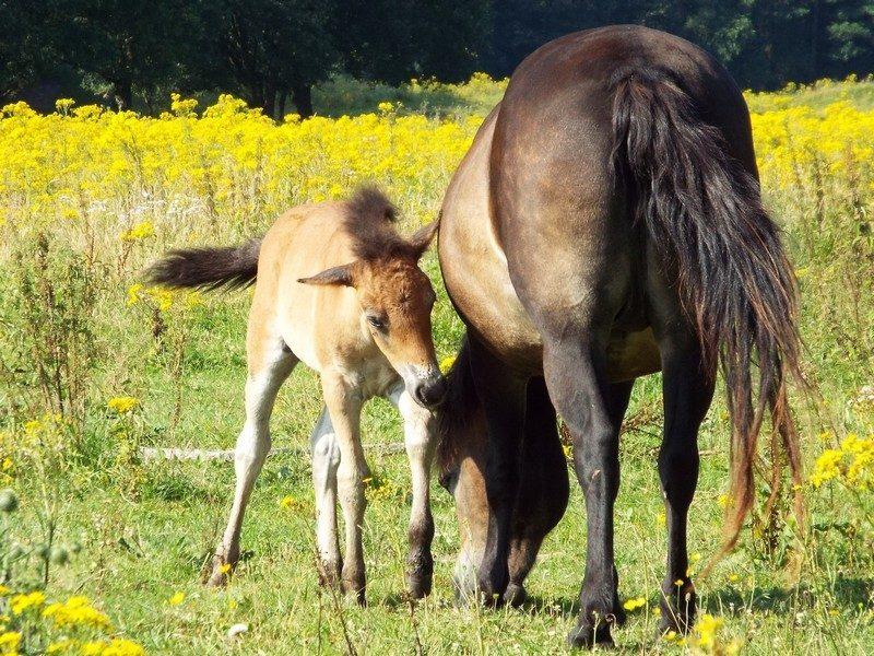 Paarden in het natuurgebied Langven en de Maurik