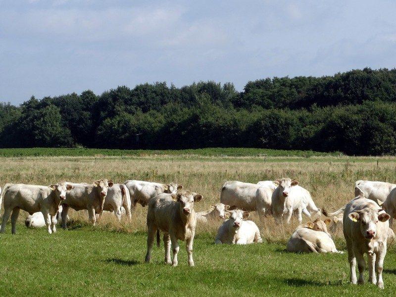Een kudde Charolais-koeien in de Breedwisch