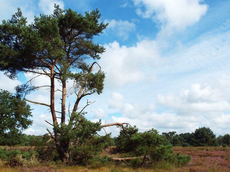 Het Leerderbos, heidegebied in omgeving van Hasselsvennen