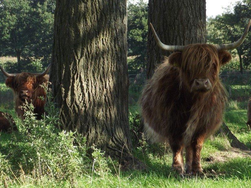 Schotse hooglanders in 't Sohr