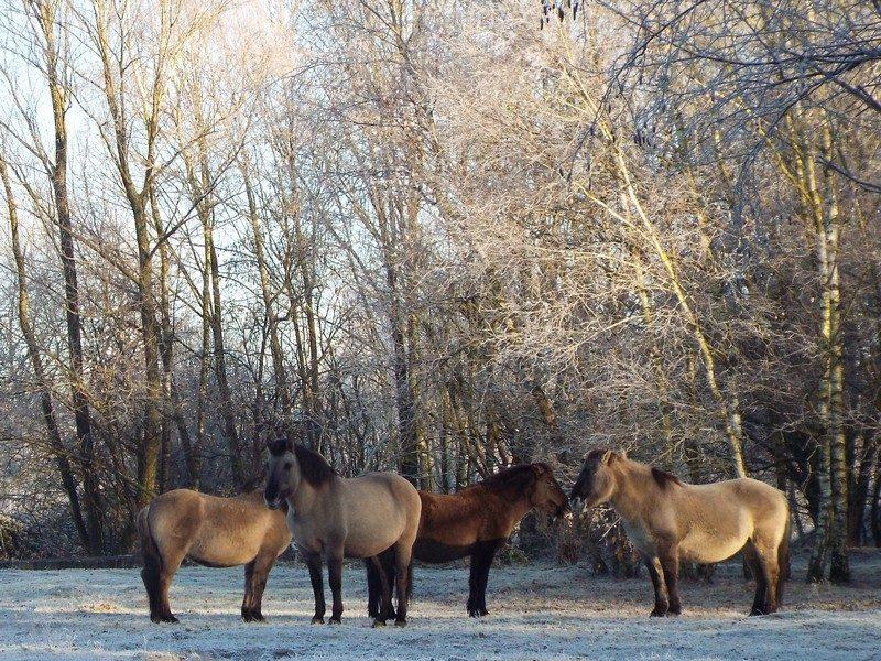 Konik paarden op de Dorperheide