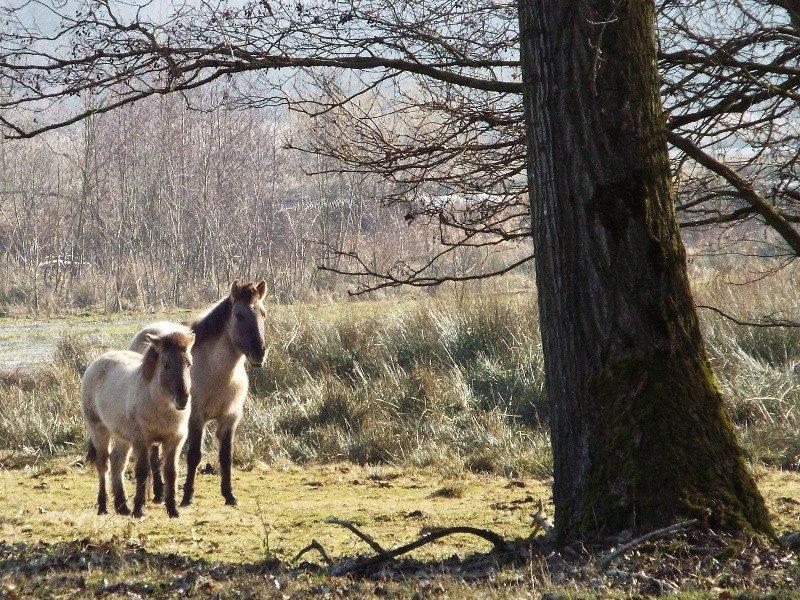 Konikpaarden in het Mariahof