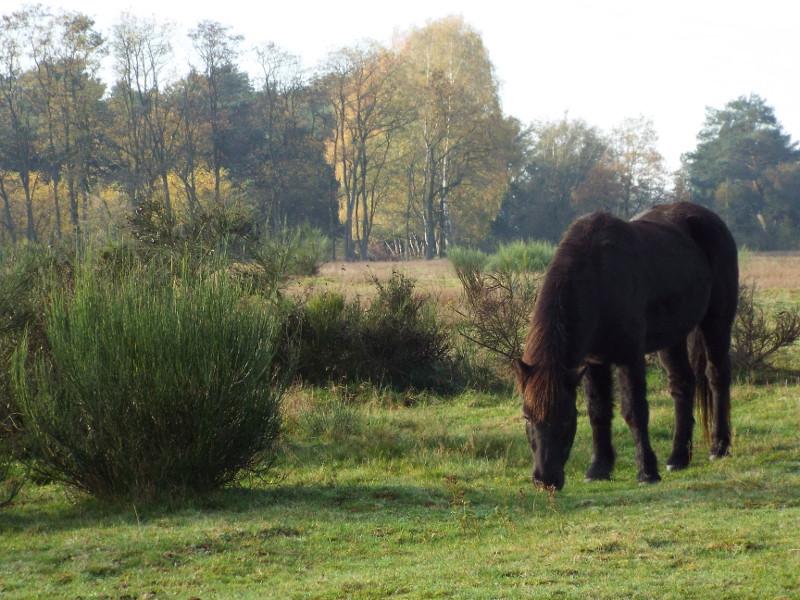 Begrazingsgebied met paarden