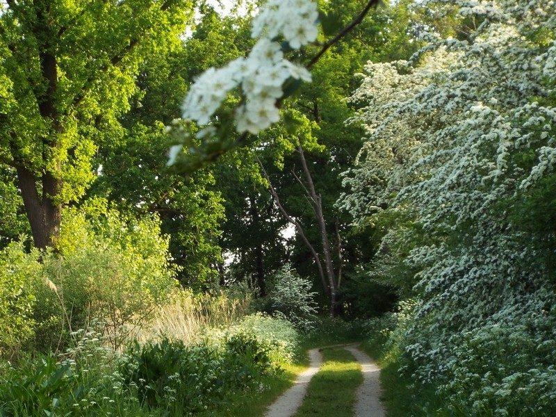 Meidoorn volop in bloei