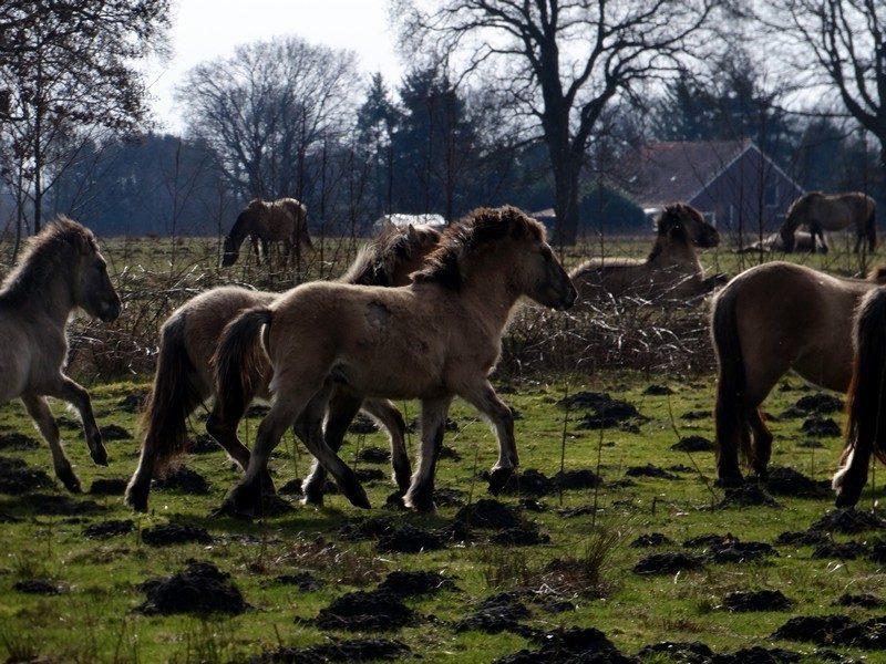 Konikpaarden in het Groninger Landschap