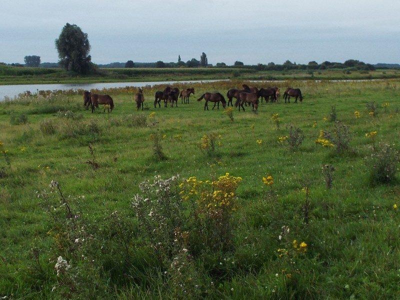 Kudde paarden in de Keent