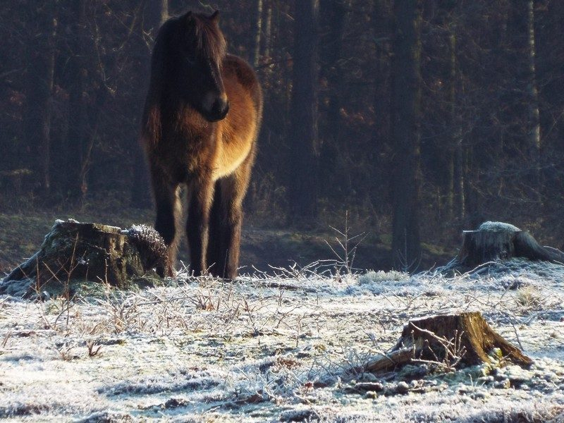 IJslands paard in het Leudal
