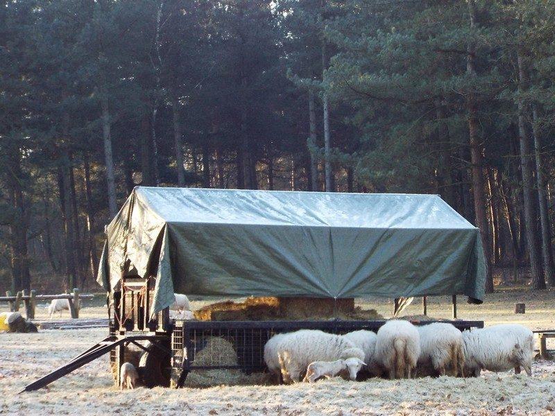 Bijvoeren van de schapen