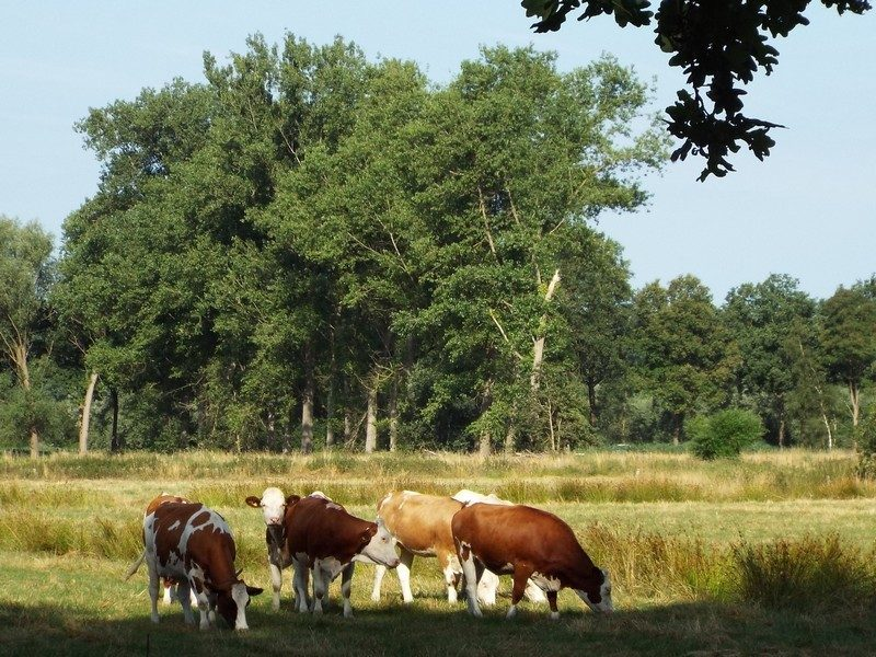Koeien in de Scheeken