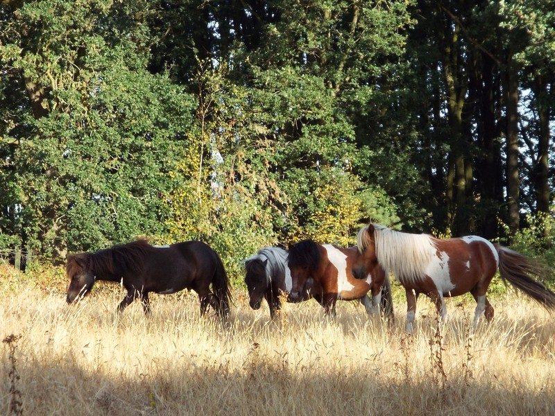 Shetlandse pony's in de Groote Peel