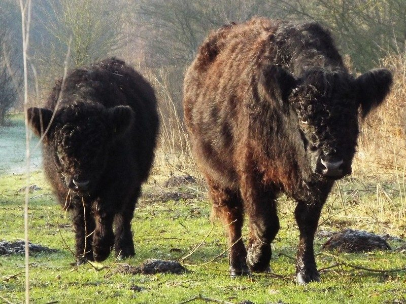 Galloways in Barbara's Weerd