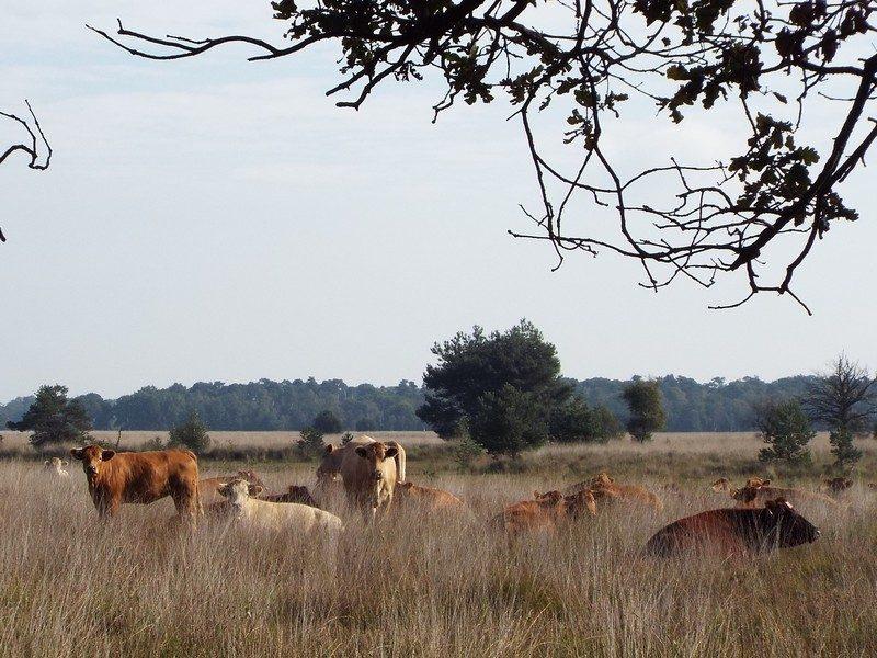 Koeien op de Kampina
