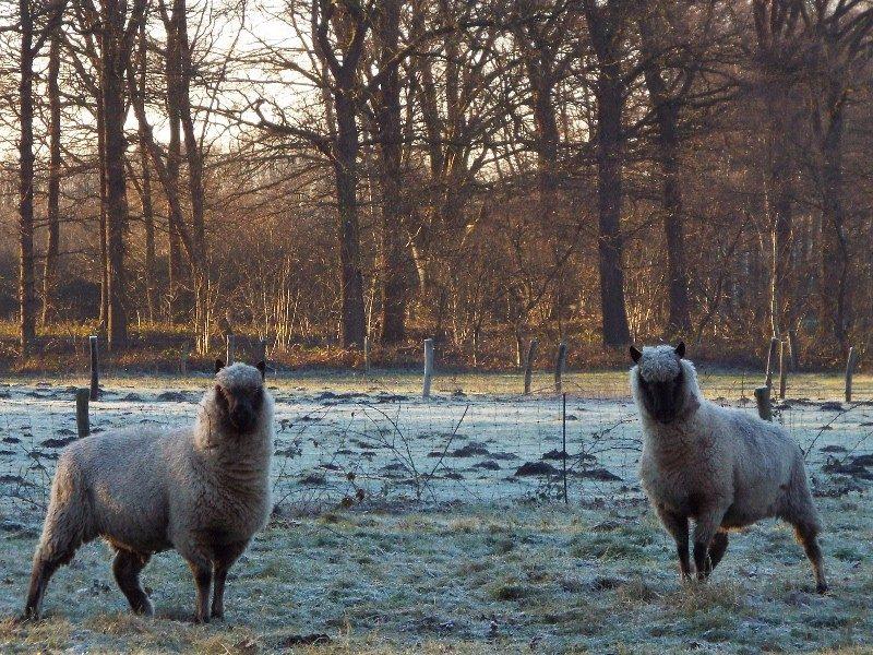 Clun Forrest schapen