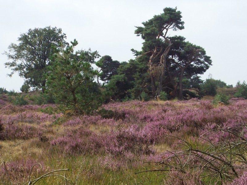 Heidegebied in omgeving van schaapskooi