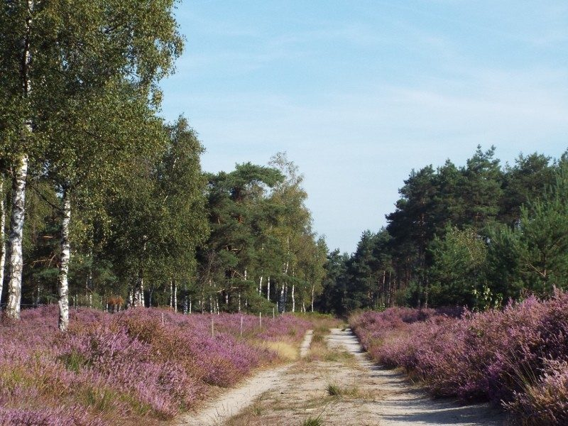 Pad door strook heide in het bos