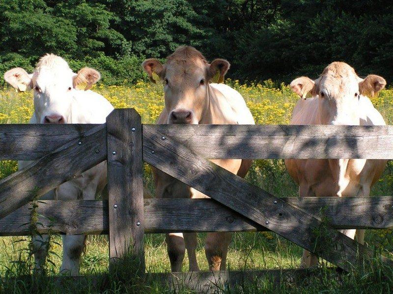 Koeien in het Zevendal