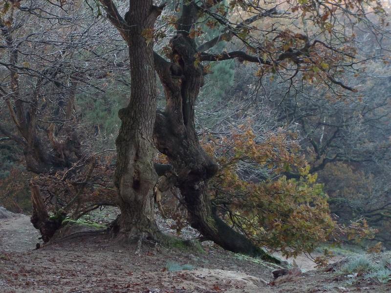 Grillig gevormde bomen op de stuifzandrug