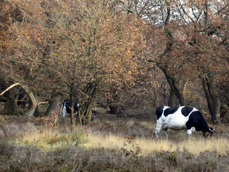 Koeien in de Strubben.