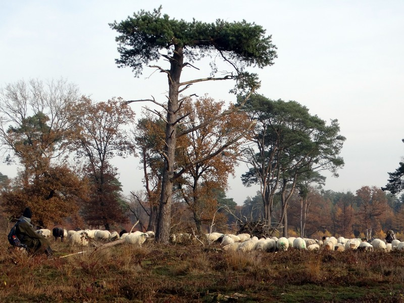 De herder en zijn kudde.