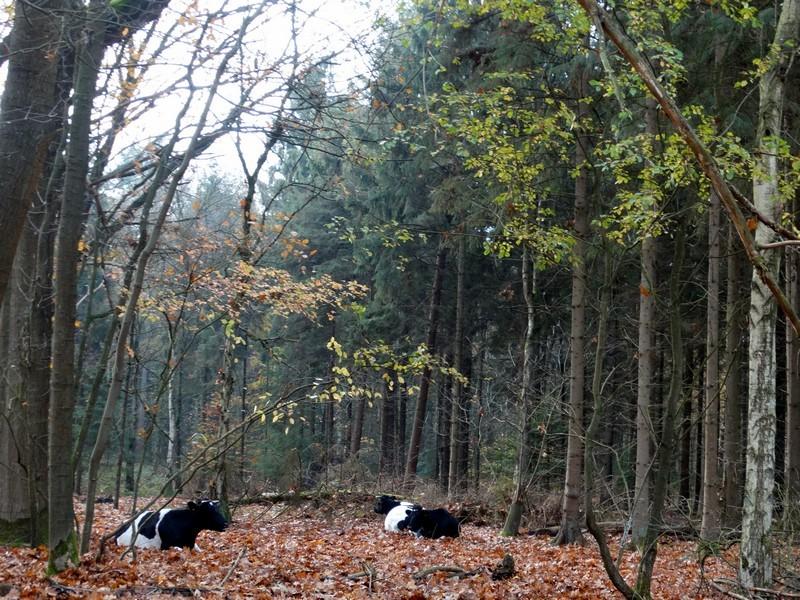 Heidekoeien in het bos van de Strubben.