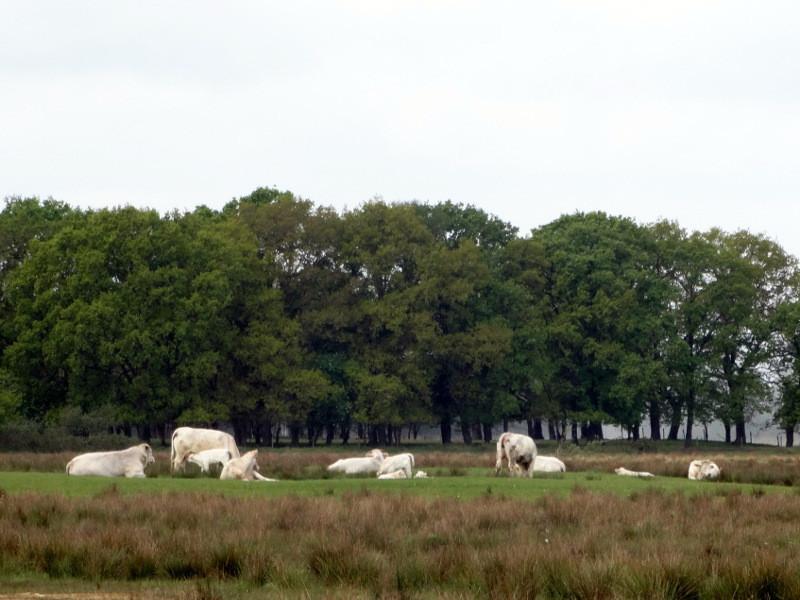 Charolais koeien en kalfjes in het Ellersinghuizerveld